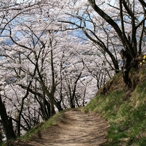 【光城山の桜】4月下旬~が見ごろ!ホテルから車で30分の好アクセス♪