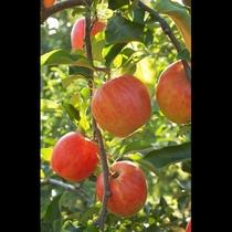 【安曇野りんご畑】秋の安曇野はりんご!皆で仲良くりんご狩り♪