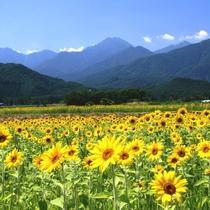 【ひまわり畑】一面に広がるひまわり♪夏の安曇野の風物詩ですネ!