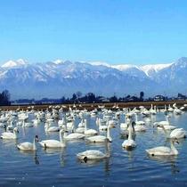 【御宝田遊水池】北アルプスをバックに、気品漂う姿に息をのみます。