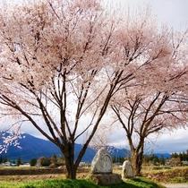 【常念道祖神の桜】 寄り添うような樹形が美しい2本の桜と道祖神は、春の安曇野を象徴するような風景