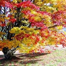 【七色大カエデ】毎年10月上旬から徐々に色付き始め、11月上旬までこのカエデが七色に変化をみせる。