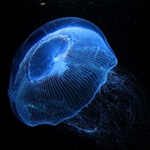 加茂水族館のオワンクラゲ