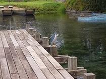 下六嘉湧水群・野鳥