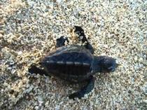 【周辺】孵化の時期には、ウミガメの赤ちゃんにも遭遇出来るかも?