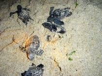 【周辺】ウミガメの孵化!