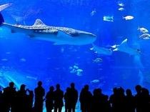【周辺】風来荘からお車で10分、『美ら海水族館』の大水槽〜!