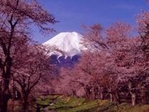 お宮橋の桜と富士山