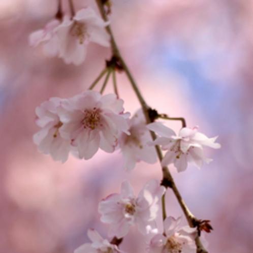 しだれ桜アップ
