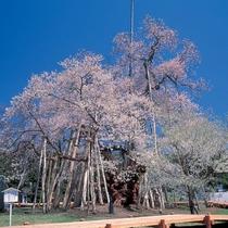 *当館から車で10分! 樹齢1200年超え 「伊佐沢の久保桜」