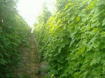 ういづのゴーヤーハウス (時期に合わせて、土と自然に触れる農業体験が出来ます)