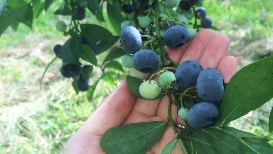 *【施設周辺】夏に収穫を迎えるブルーベリー狩り体験してみませんか?