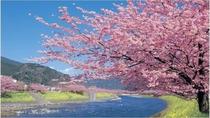 河津桜スポットは堂ヶ島から車で約1時間ほど