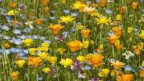 松崎 GWにはお花摘みが楽しめます