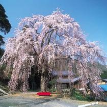 妙祐寺しだれ桜