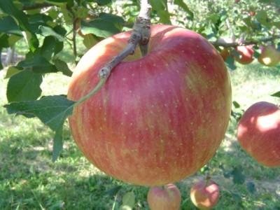 真っ赤に色づいたりんごの実
