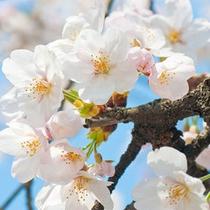 桜500*500