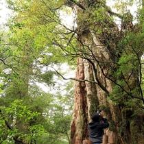 【紀元杉】屋久島を代表する樹齢3000年を越えると言われている巨木!