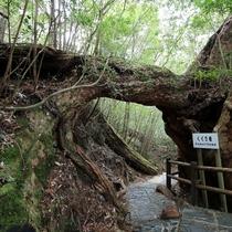 【ヤクスギランド】くぐり杉、仏陀杉など樹齢何千年の屋久杉が生育しています