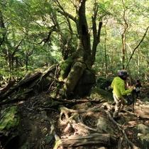 【白谷雲水峡】美しく神秘的な原生林を体感できます!