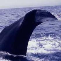 クジラウォッチング