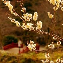 熱海梅園の梅は日本一早咲きの梅といわれ、400本以上の梅があるため長い期間楽しむことができる