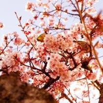 あたみ桜は糸川遊歩道で見ることができ、日本で最も早く咲く桜です (車で7分 徒歩25分)