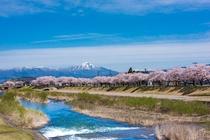 会津美里町 宮川の千本桜