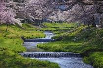 猪苗代町 観音寺川の桜並木