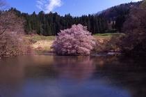 山都町の鏡桜 エドヒガンザクラ