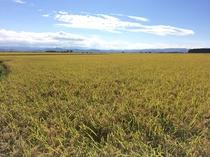 稲刈り直前の猪苗代の田んぼ