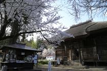 会津坂下町 立木千手観音 会津五桜のひとつ「杉の糸桜」が。立木仏としては日本最大級!国重要文化財