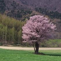 【車で約5分】富良野の一本桜