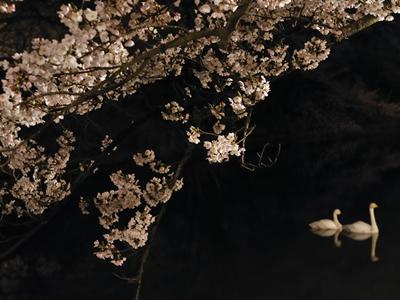 鶴岡公園の夜桜