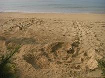 海かめの産卵跡