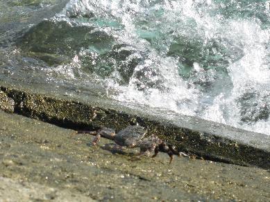 大浜海岸のかに