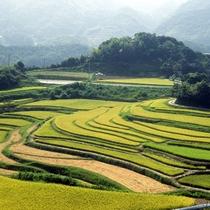 【淡路の棚田】 今も淡路島の山間部では山の傾斜を利用した棚田での稲作が盛ん。