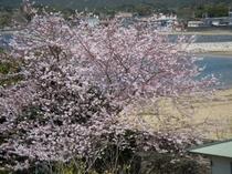 桜とあさり浜