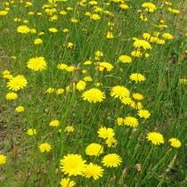 スイス村に咲くたんぽぽ