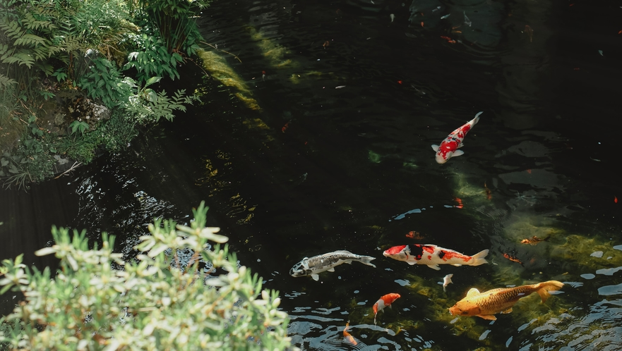 鯉が泳ぐ中庭の池