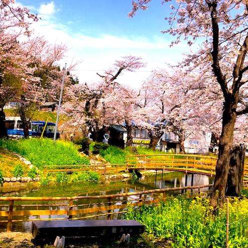 小野川温泉の桜(4月中旬から下旬)