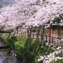 木屋町通りの桜