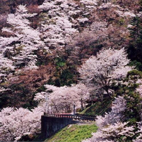 音無山の桜
