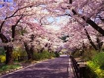 岳温泉「桜坂」