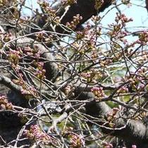 桜開花4月13日