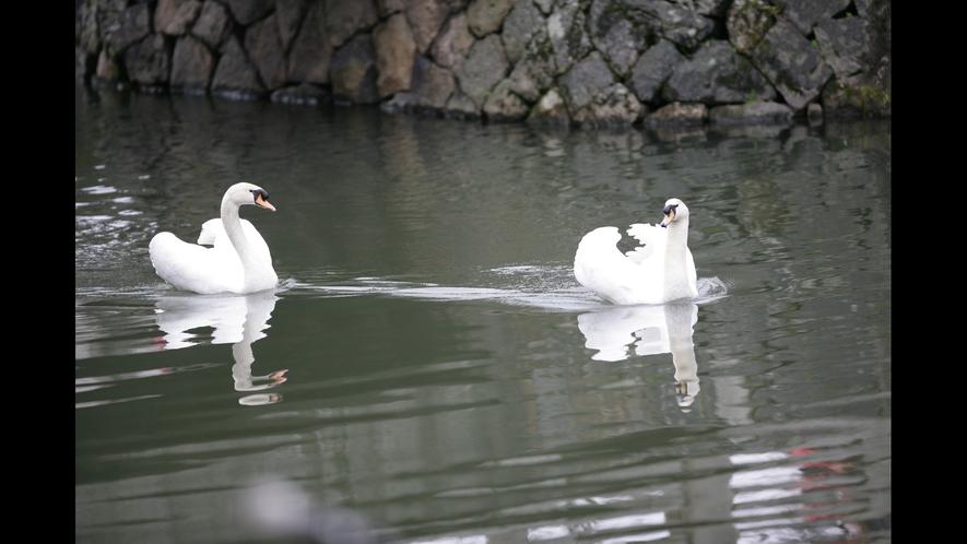 倉敷川を優雅に泳ぐ白鳥