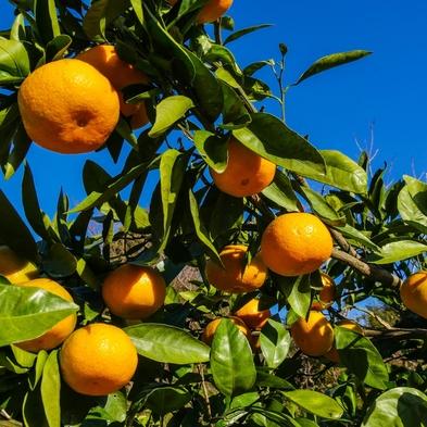 【秋の収穫祭】食べ放題!お土産付!夕陽ヶ丘みかん園で収穫体験♪もぎたてフルーツを召し上がれ♪