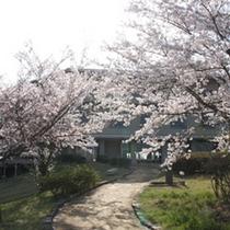 【江汐公園】桜