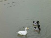 【江汐公園】江汐湖のアッヒー(アヒル)とかもさん