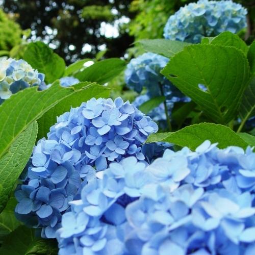 庭園の紫陽花(6月上旬頃)